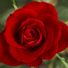 800px-Small_Red_Rose